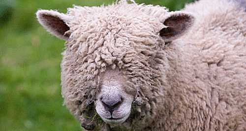 wool over eyes