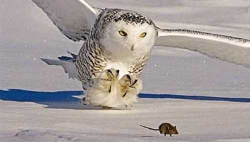consequences, owl on rat