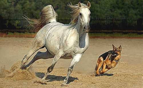 dog chasing a horse