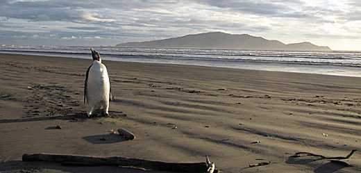 Emperor penguin on Pekapeka Beach.