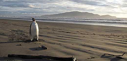 Emperor penguin on Pekapeka Beach.