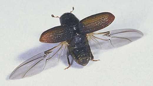 pine beetle wings