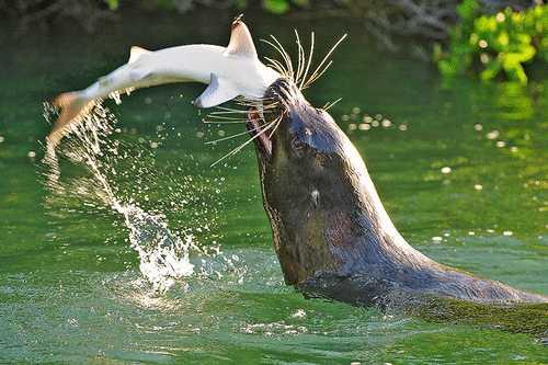 sea lion eating a juvenile shark